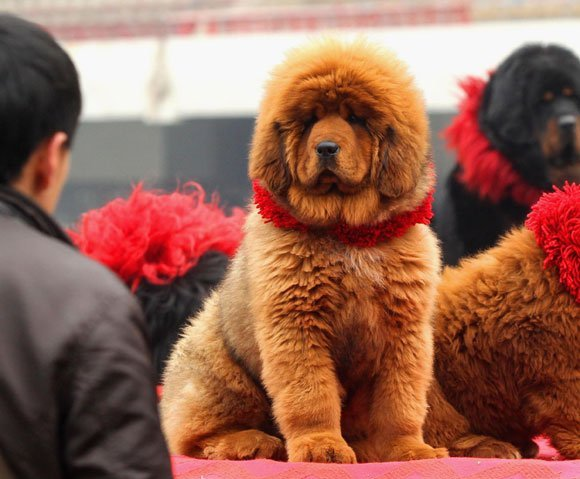 The World's Most Expensive Dog