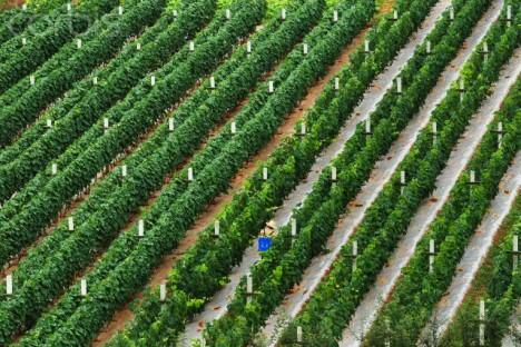 vineyard Yunnan province