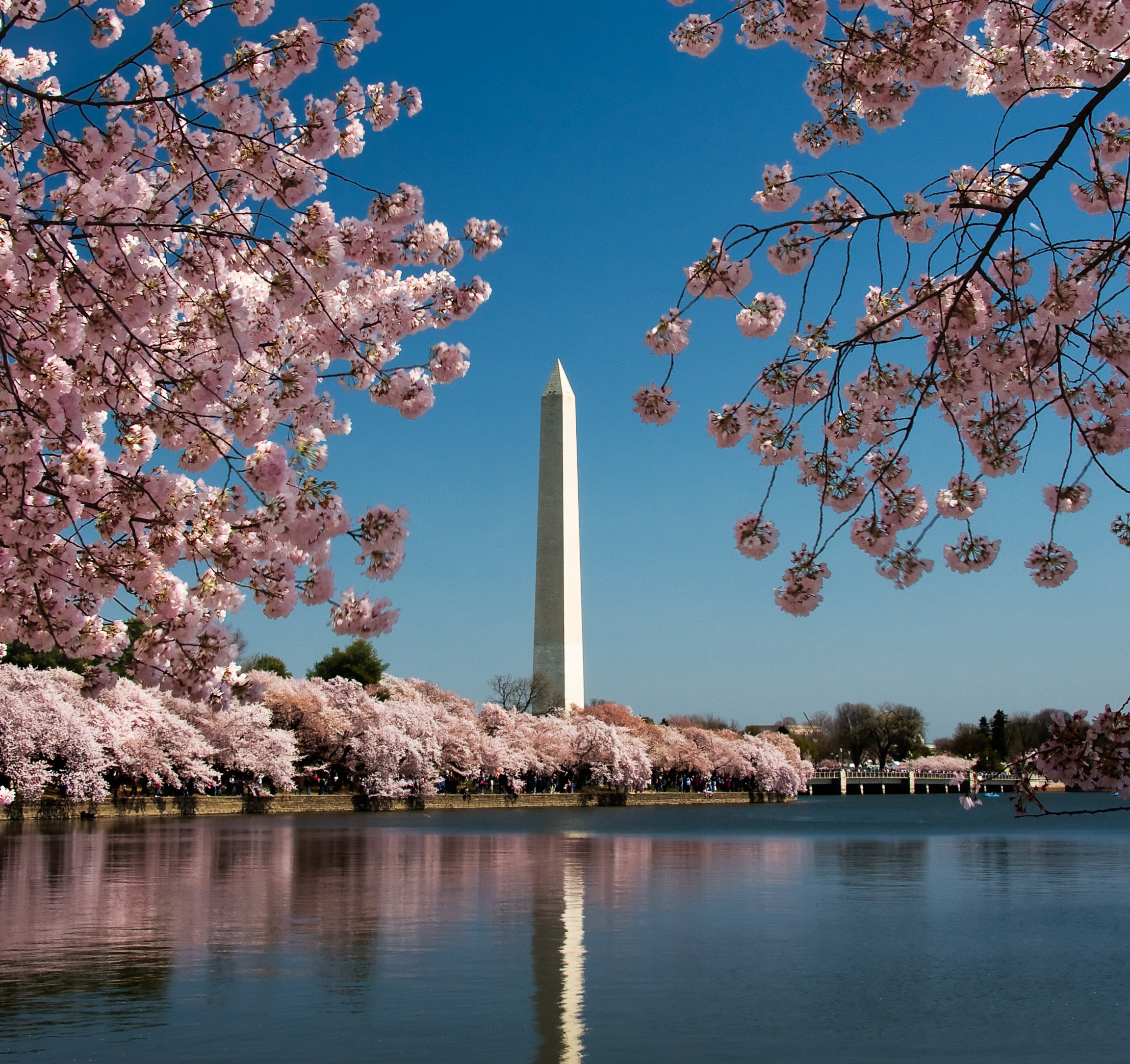 Cherry blosson season in Washington DC