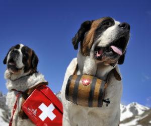 Saint Bernard dogs