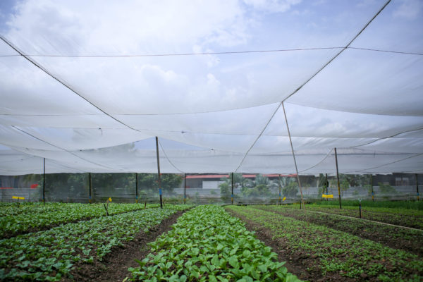 The most popular vegetables at Quan Fa Organic Farm are the Cai Xin, Kai Lan, Bai Cai (Pok Choy) and Xiao Bai Cai (Baby Pok Choy).