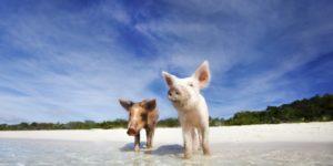 World's Weirdest Beaches: Swim with Pigs in Bahamas