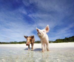 bahamas-pigs-swim