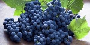 Grape Expectations: French Wine Harvest Begins