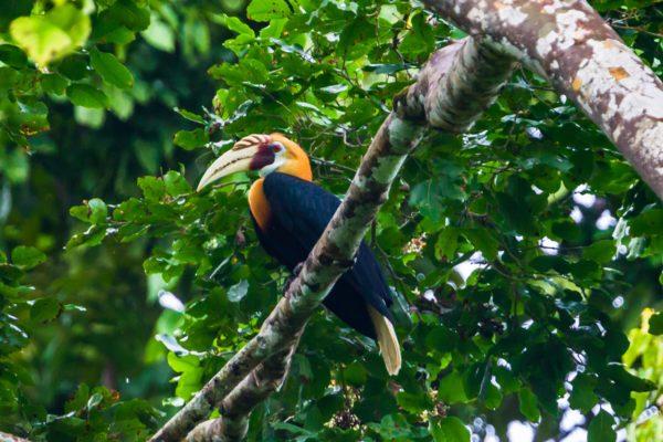 Il bucero Papua è tra le 300 specie di uccelli nella foresta pluviale di Papua